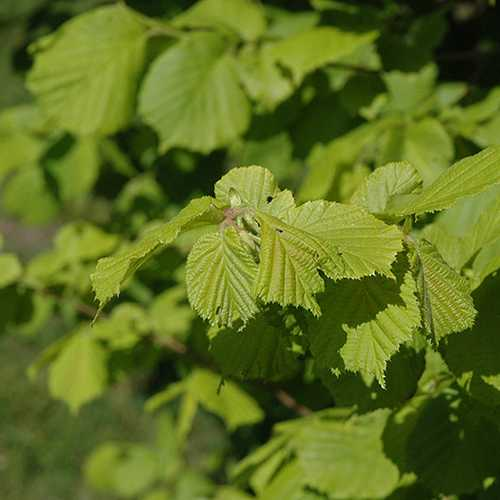 Corylus avellana Aurea - Future Forests