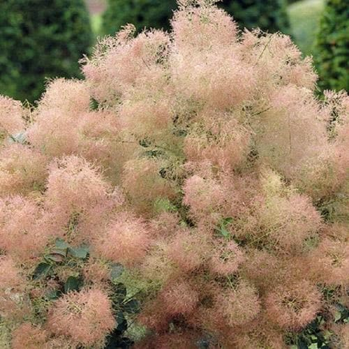 Cotinus coggygria Young Lady