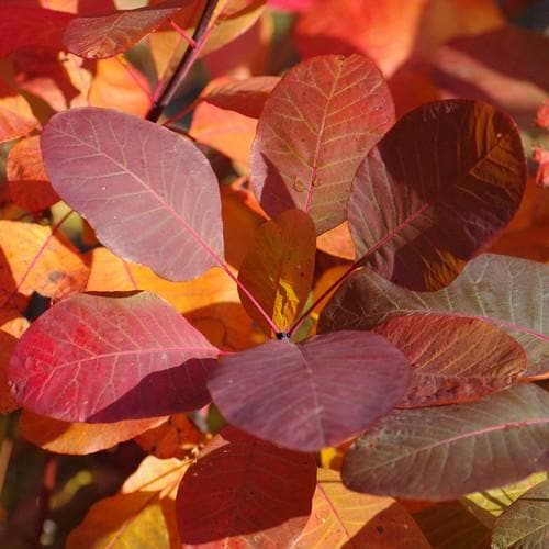 Cotinus Grace - Future Forests