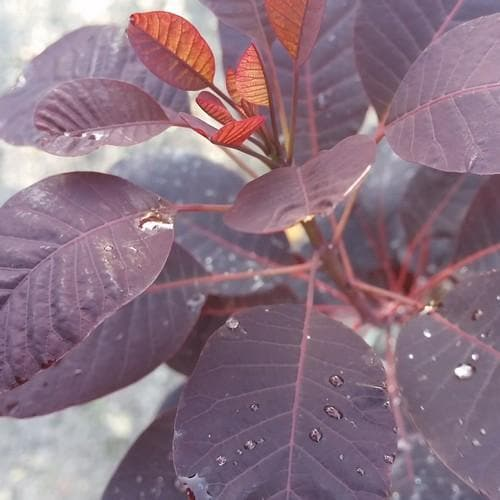 Cotinus coggygria Royal Purple - Future Forests