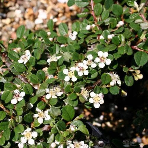 Cotoneaster procumbens 'Queen of Carpets' - Future Forests