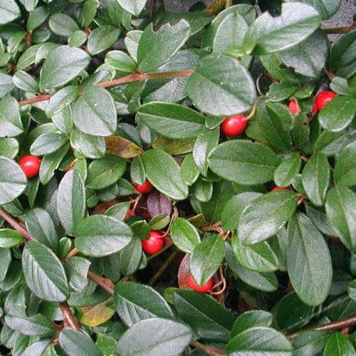 Cotoneaster dammeri Green Carpet - Future Forests