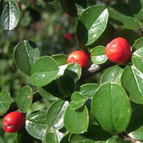 Cotoneaster dammeri - Future Forests