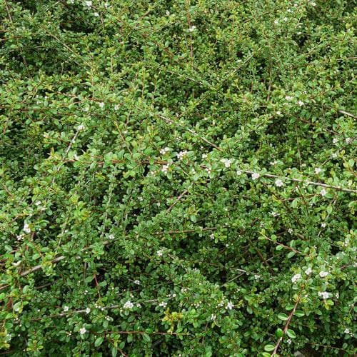 Cotoneaster dammeri future forests - Cotoneaster dammeri green carpet ...