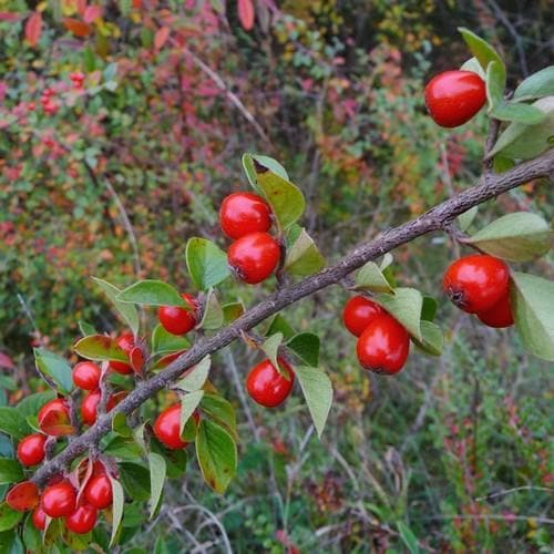Cotoneaster simonsii - Future Forests