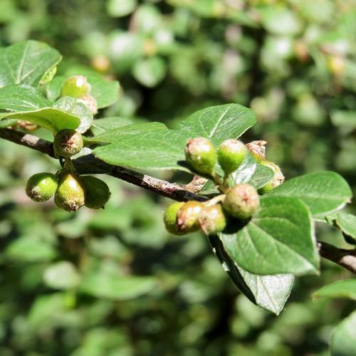 Cotoneaster dielsianus - Future Forests