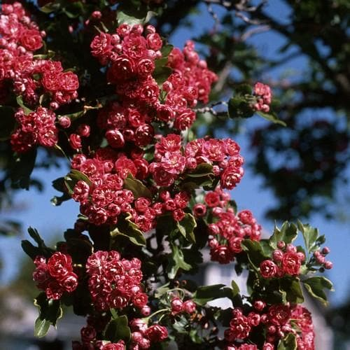 Crataegus Crimson Cloud - Future Forests