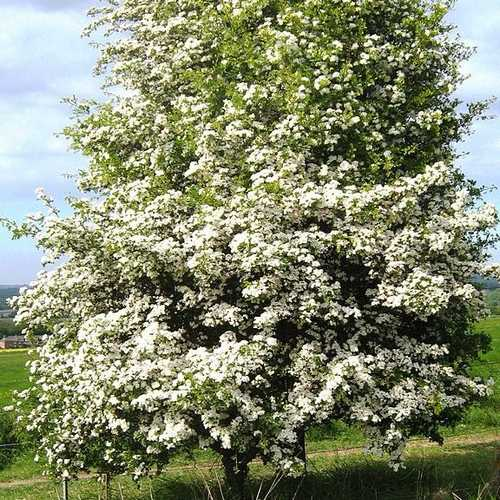 Crataegus monogyna - Future Forests