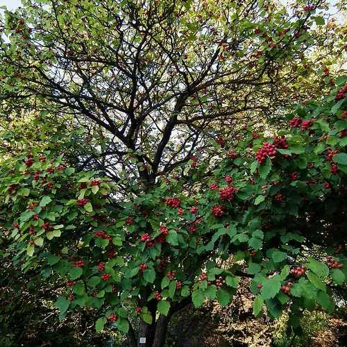 Crataegus pedicellata - Future Forests