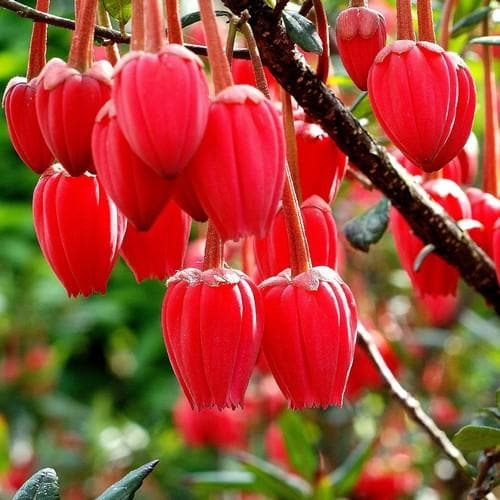 Crinodendron hookerianum - Future Forests