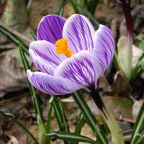 Crocus vernus Pickwick - Future Forests