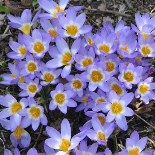 Crocus sieberi Tricolor - Future Forests