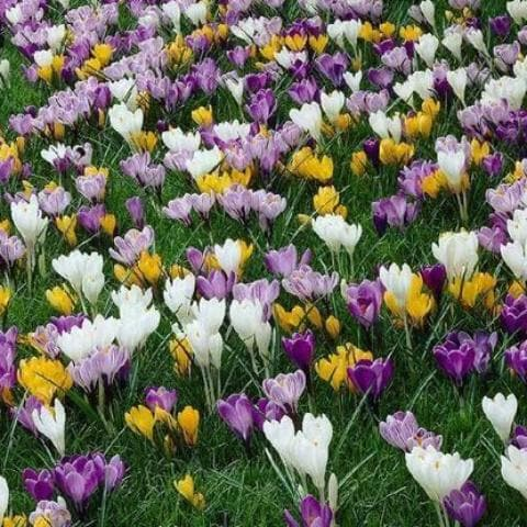 Crocus Large Flowering Bulb Mix - Future Forests