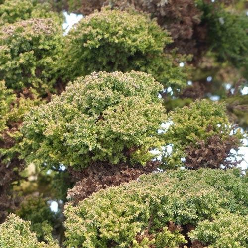 Cryptomeria japonica Bandai-sugi - Future Forests