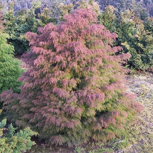 Cryptomeria japonica Elegans - Future Forests