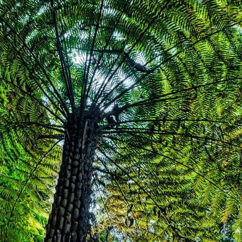 Cyathea Australis - Future Forests