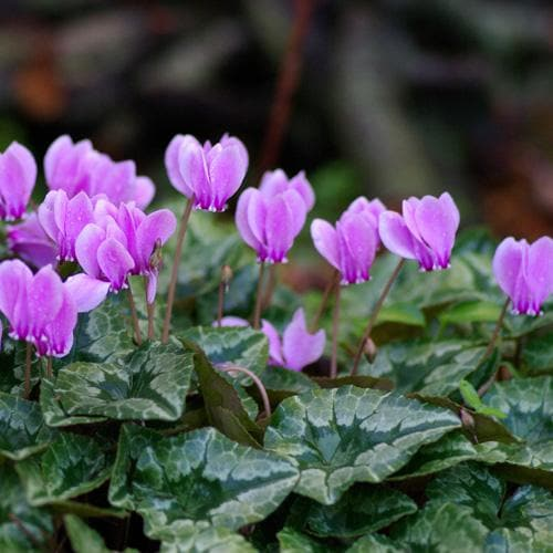 Cyclamen hederifolium - Future Forests