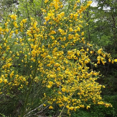 Cytisus scorparius - Future Forests