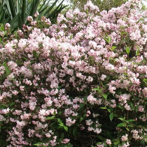 Deutzia x rosea - Future Forests