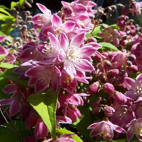 Deutzia x hybrida Strawberry Field - Future Forests