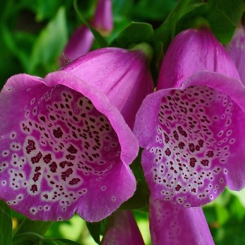 Digitalis purpurea - Future Forests