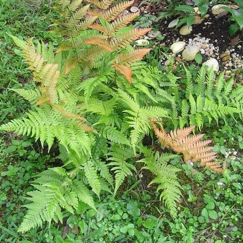 Dryopteris erythrosora - Future Forests
