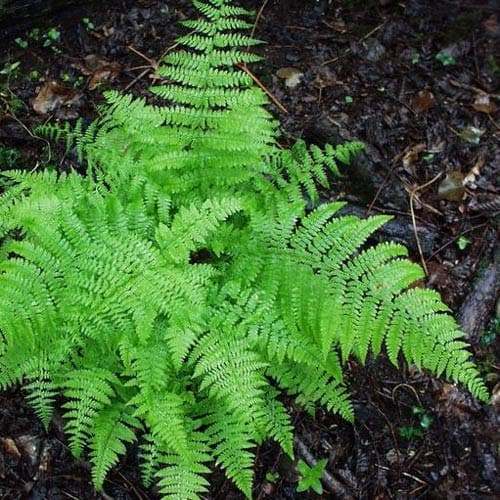Dryopteris filix-mas - Future Forests