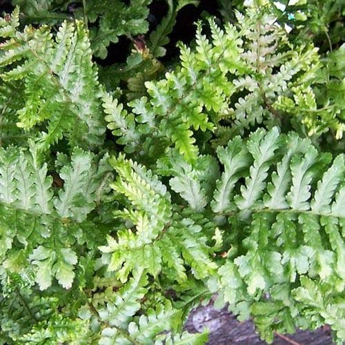 Dryopteris filix-mas Cristata - Future Forests