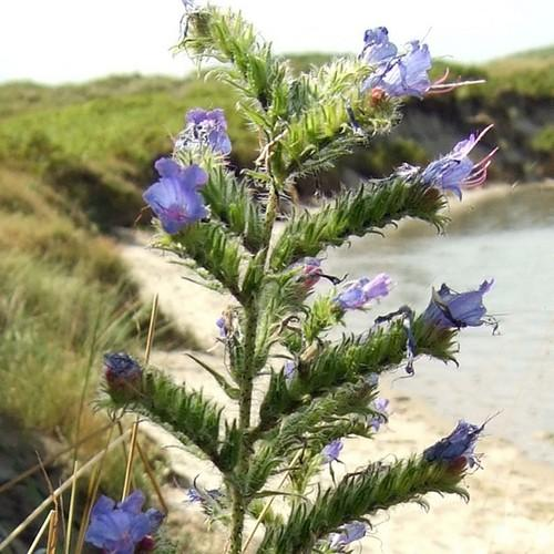 Echium vulgare - Future Forests