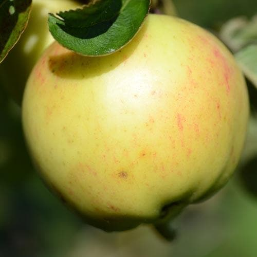 Apple Ecklinville Seedling - Future Forests