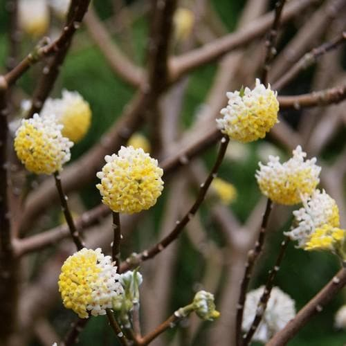 Edgeworthia chrysantha Grandiflora - Future Forests