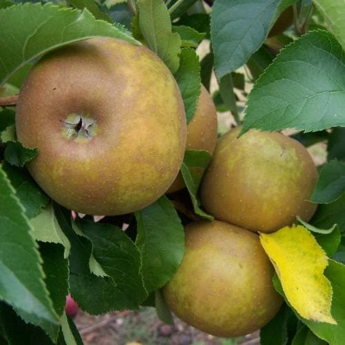 Apple Egremont Russet