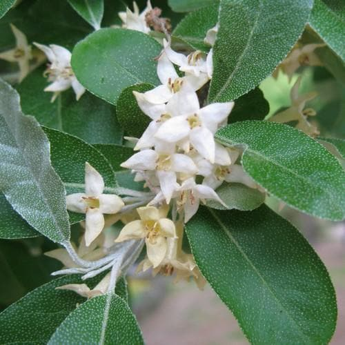 Elaeagnus umbellata - Future Forests