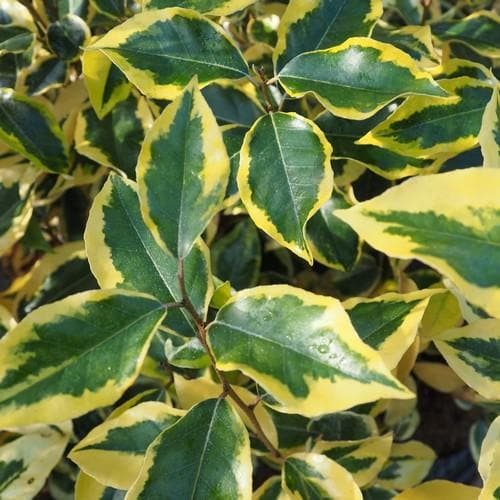 Elaeagnus x ebbingei Gilt Edge - Future Forests