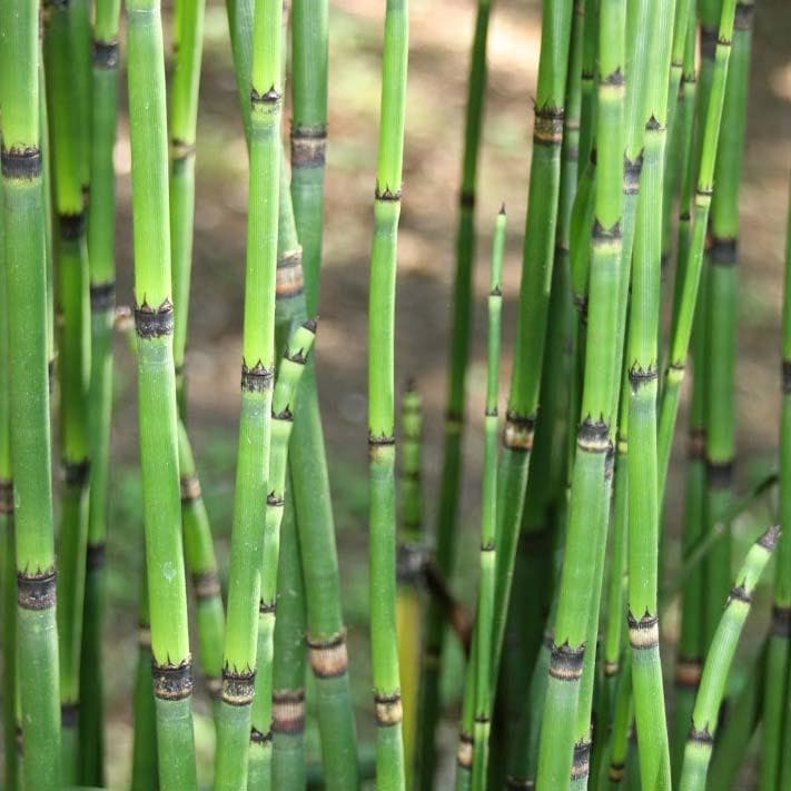 Equisetum robustum - Future Forests