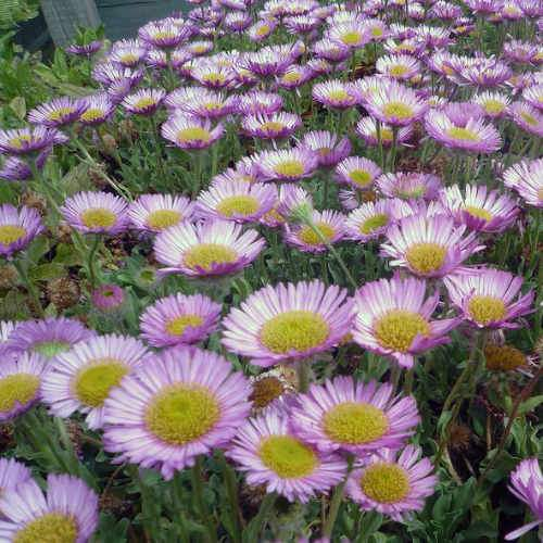 Erigeron glaucus Sea Breeze