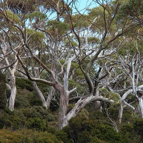 Eucalyptus coccifera - Future Forests