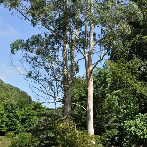 Eucalyptus dalrympleana - Future Forests