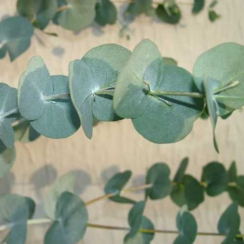 Eucalyptus glaucescens - Future Forests