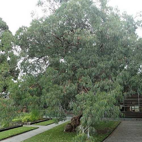 Eucalyptus perriniana - Future Forests