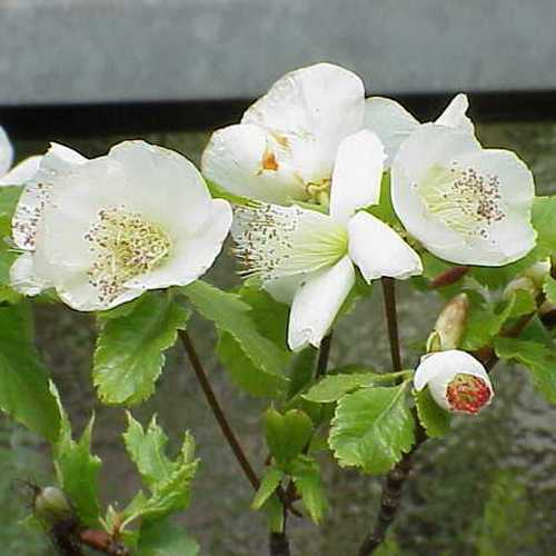 Eucryphia glutinosa - Future Forests