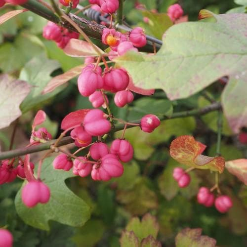 Euonymus europaeus - Spindle - Future Forests