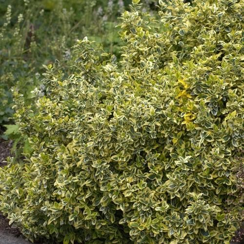 Euonymus fortunei Emerald & Gold - Future Forests