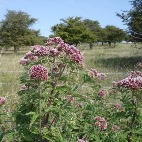 Eupatorium cannabinum - Future Forests