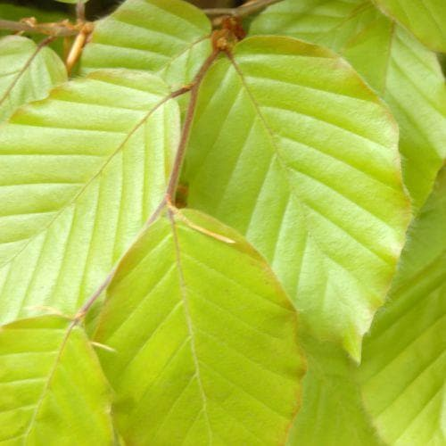 Fagus sylvatica - Green Beech - Future Forests