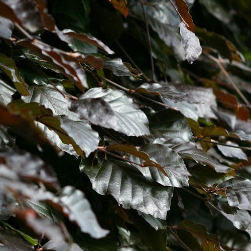 Fagus sylvatica Atropunicea - Copper Beech - Future Forests