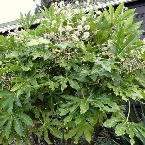 Fatsia japonica - Future Forests