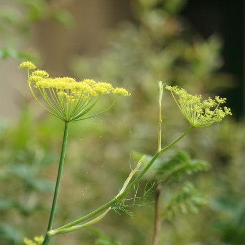 Fennel, green - Future Forests