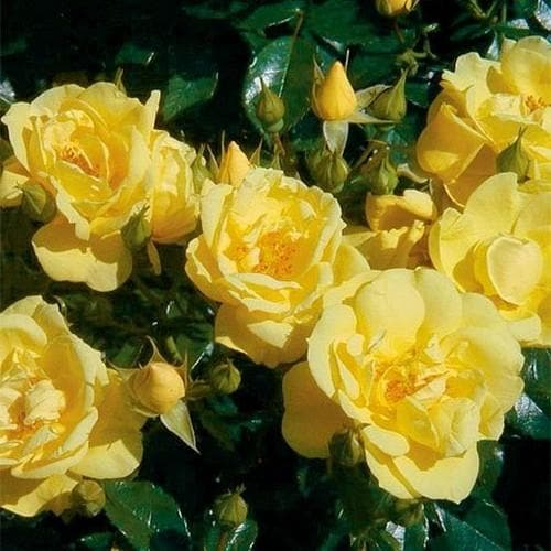 Rosa Flower Carpet Gold