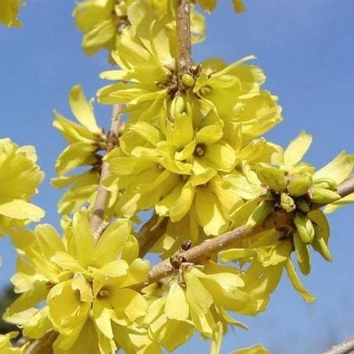 Forsythia mandschurica - Future Forests